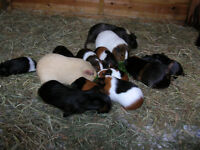 Baby guinea pigs for sale, four females and six males. £8 each.