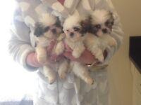 3Beautiful shiz-tzu cross toy poodle puppies