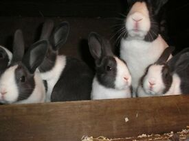 Blue and White Dutch rabbits
