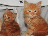 ----- PuuRFECT litter Siberian x kittens -----