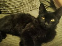 Lost and Found Black Male Cat. No Microchip