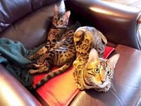 Missing Male Bengal cat with distinctive markings. Reward if found.