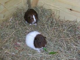 Three baby guinea pigs for sale, 1 female and 2 males.