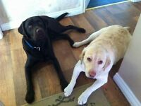 Labrador yellow and choclate pups