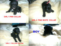 4 black jackapoo's puppies boy girls