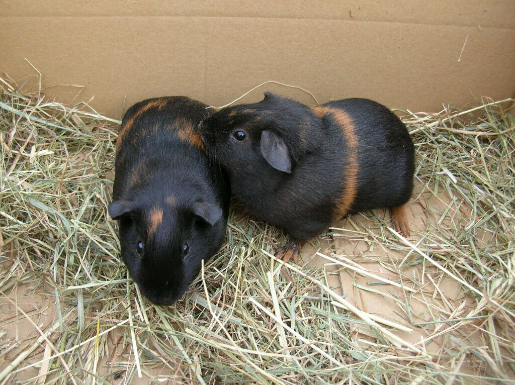 Baby guinea pigs for sale. Two males and one female. £8 each