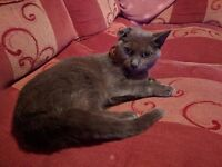 FEMALE GREY CAT FOR SALE CALLED BLOSSOM