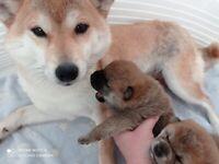 IKC Japanese Shiba Inu Puppies