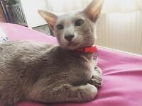 Oriental Shorthair Cat needs new home SOLD PENDING COLLECTION