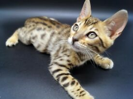 Stunning Bengal Kittens For Sale