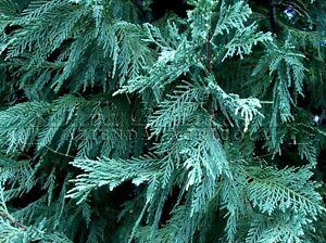 Cupresso leyland 10 pianta di cipresso siepe per giardino for Cipresso leyland