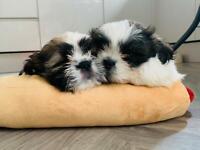 12 week old zuchons need homes