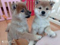 IKC registered Japanese Shiba Inu Puppies