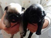 Kc register pug puppies 1girl 1 boys