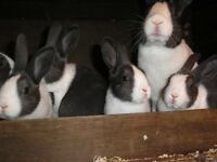 Dutch rabbits for sale.