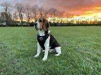 1 Tricolor Male Beagle puppy for sale