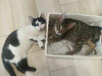 Two kittens tabby and black and white two for £250