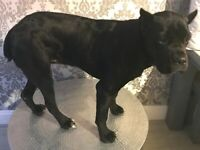 Cane Corso female 9 months old with papers