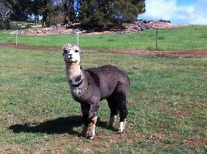 Stud male Alpaca for sale Bridgetown Area Preview