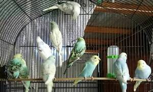 BUDGIES FOR SALE Clayton Monash Area Preview