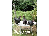 Three Friendly Australorp Hens