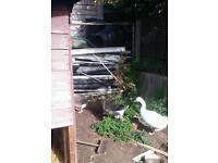Dewlap geese for sale