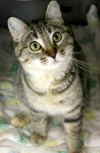"Young Female Cat - Domestic Short Hair-Torbie: ""Kiley Smiley"""