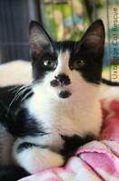 """Baby Female Cat - Domestic Short Hair-black and white: """"Mittens"""""""