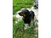 Marble dachshund