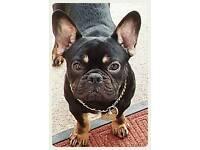 Kc Black/Tan French Bulldog Boy