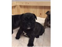 Amzing self whelped french bulldog pups