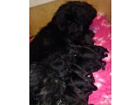 Kc Reg Shih Tzu pups excellent bloodlines