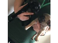 4 pug puppy's for sale