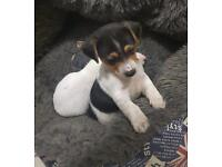 Miniture pure jack Russell pups