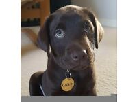 Quality bred kc registered chocolate labrador puppies.