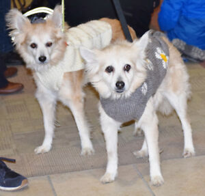 **ADOPT Bijou & Bailey - POM crosses are available for adoption*
