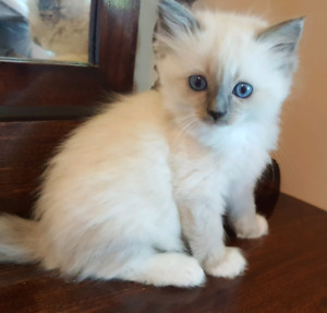 Blue mitted Ragdoll kitten