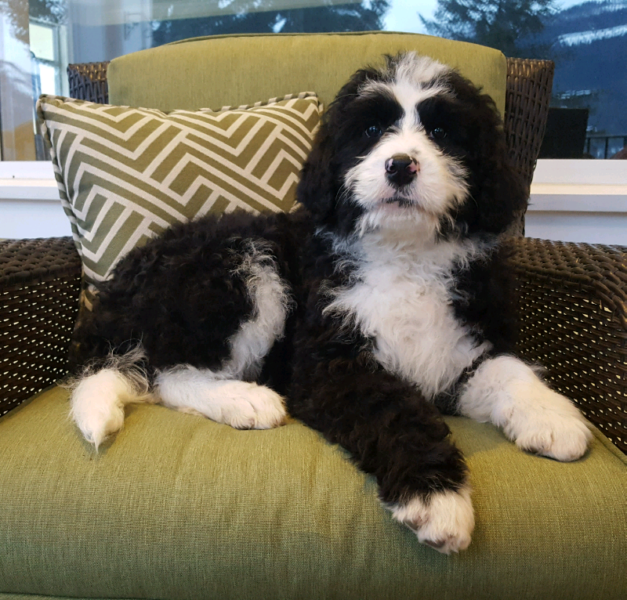 Tuxedo Bernedoodle Puppy Dogs Puppies For Rehoming Kamloops Kijiji