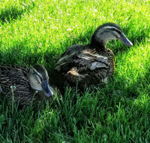 Looking to rehome my 2 PET Ducks