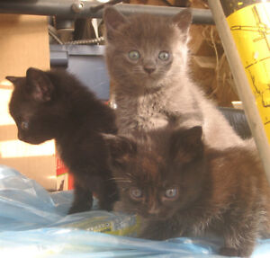 FREE KIttens - You pick them up.