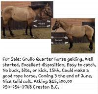 Grullo Quarter Horse Gelding