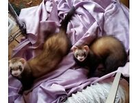 4 month old ferret sisters looking for a loving home