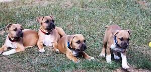 Purebred American Staffordshire Terrier (Amstaff) puppies Gracemere Rockhampton City Preview