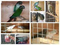 parrot parakeet for sale