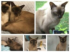 Missing Cat in Essendon Essendon Moonee Valley Preview