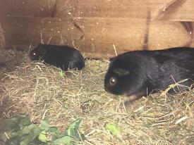 Black/tan Guinea pigs