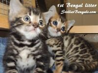 <><> Puurfect Pure Bengal kittens <><>