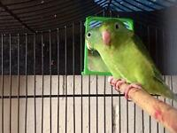 A pair of parrotlet