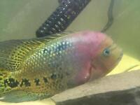 Aggressive fish for sale £15ono