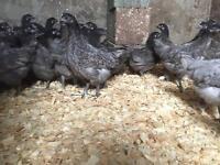 Female Hens